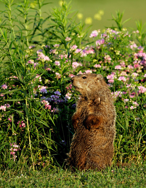 Woodchuck on Alert