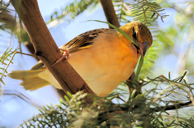IMG_3521 Bird Grass Weaver 2.jpg