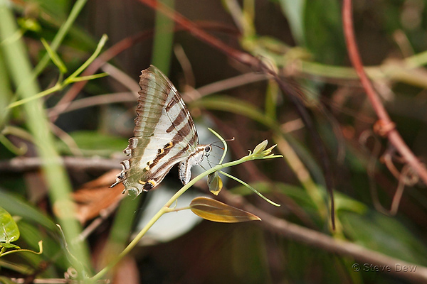 Four-barred Swallowtail