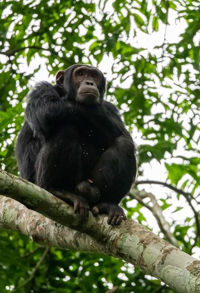 Uganda_T_Chimps-971.jpg