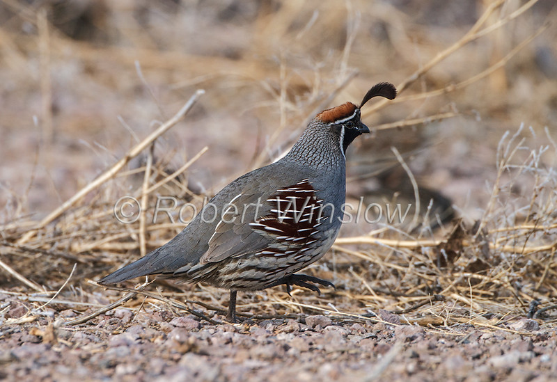 Gambel's Quail, Callipepla gambelii, Bosque del Apache National Wildlife Refuge, New Mexico, USA, North America