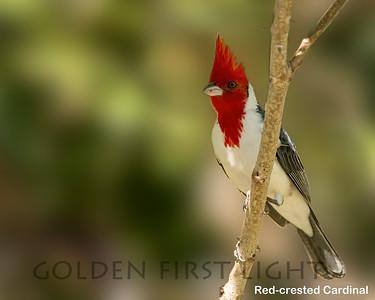 Red-crested Cardinal, Pantanal, Brazil