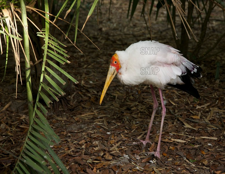 An adult Yellow-billed Stork (Mycteria ibis) kneeling on bamboo leaves while it suns itself.  They are native to southern Africa and Madagascar.  They are also known as: Yellow-billed Wood Stork, Nimmersatt, Tantale Ibis, Tántalo Africano, Wood Ibis, or Tantalo Beccogiallo.