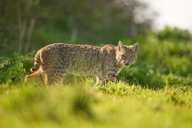 Bobcat at Point Reyes