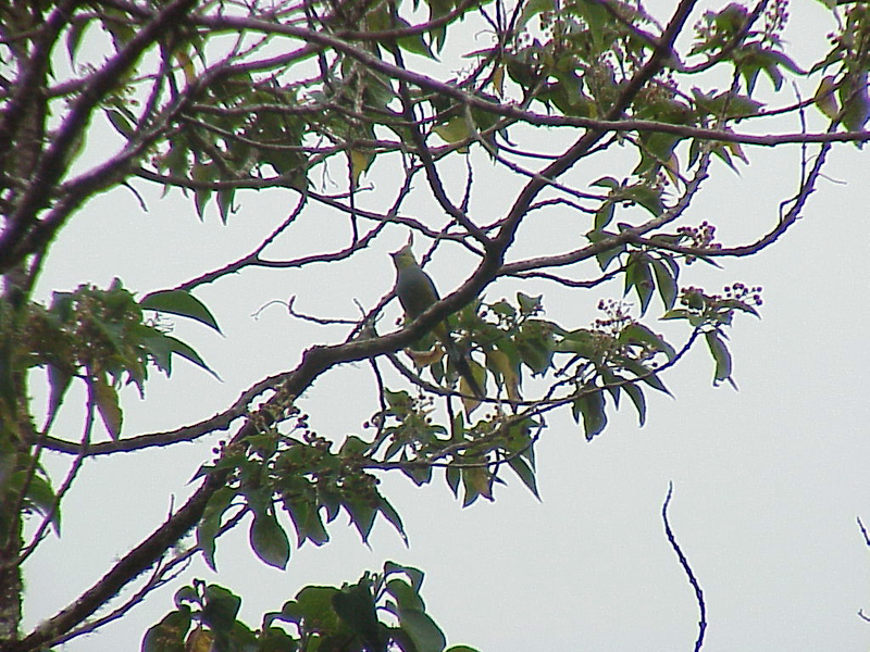 Long-tailed Silky-Flycatcher at Savegre Mountain Lodge Costa Rica 2-14-03 (50898175)