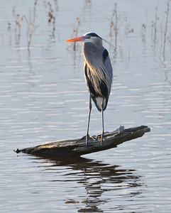 Waterfowl Follies