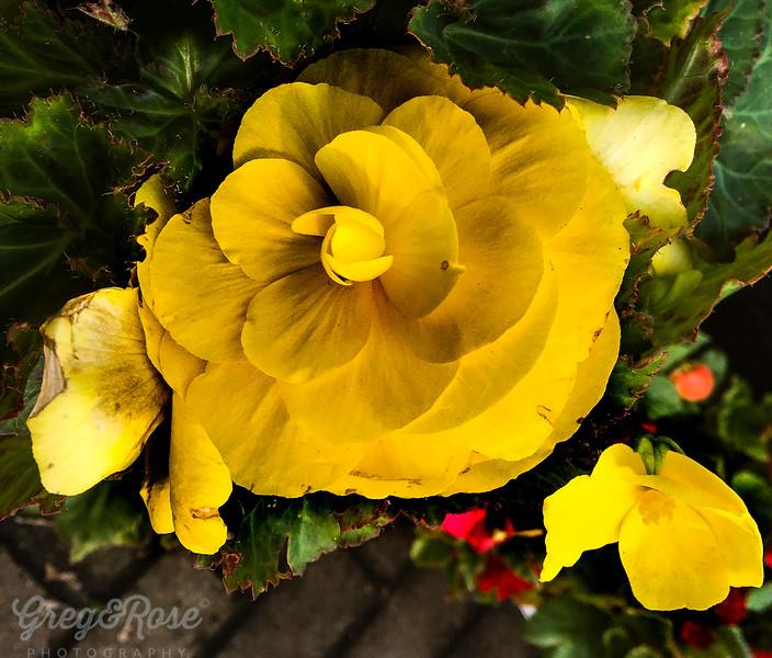 Yellow Glory