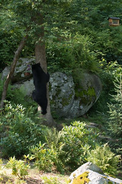 Bear in Yard (128 of 232).jpg