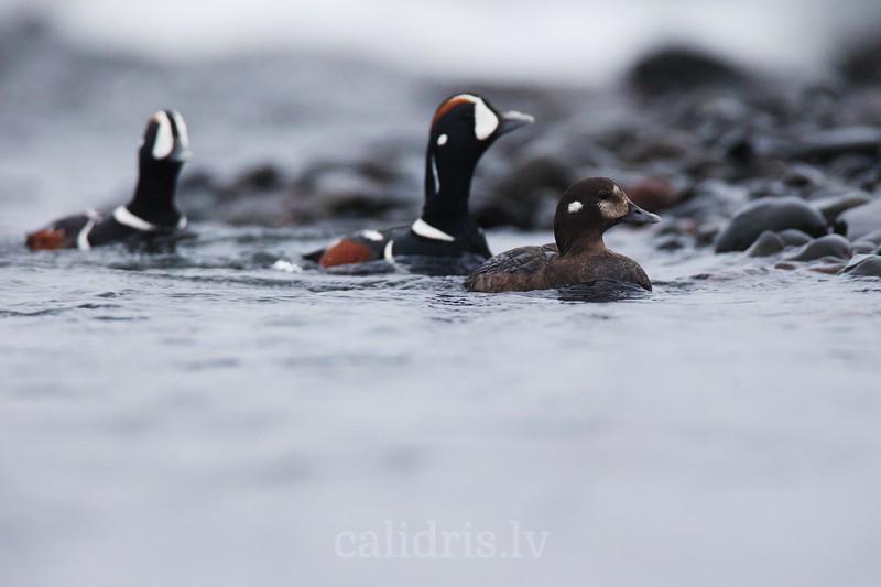 Male and female Harlequin Ducks swim near shore