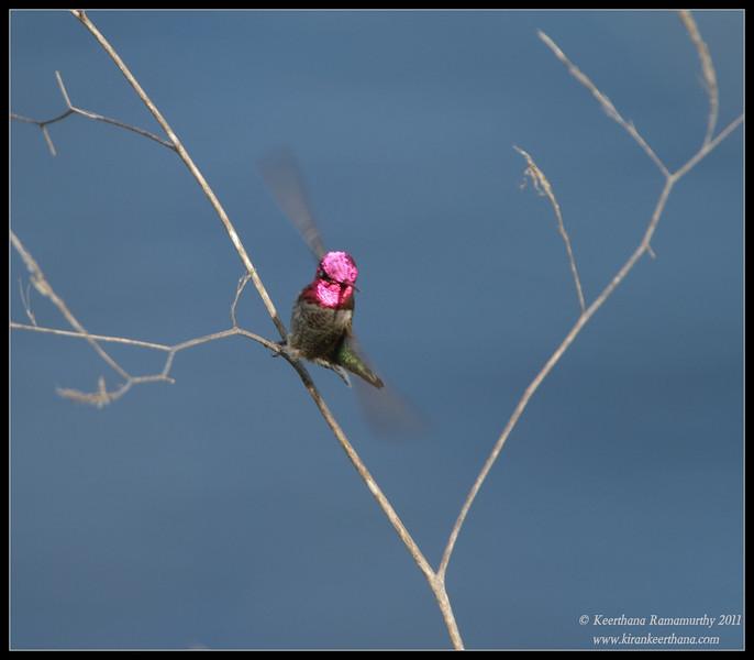 Anna's Hummingbird, La Jolla Cove, San Diego County, California, December 2011