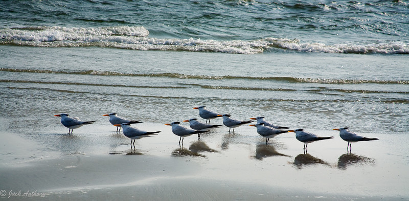 Royal Terns at Hilton Head Island, SC
