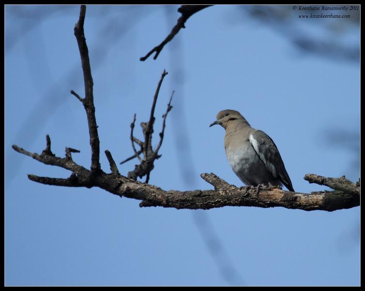 White-winged Dove, Paton's Feeders, Patagonia, Arizona, November 2011