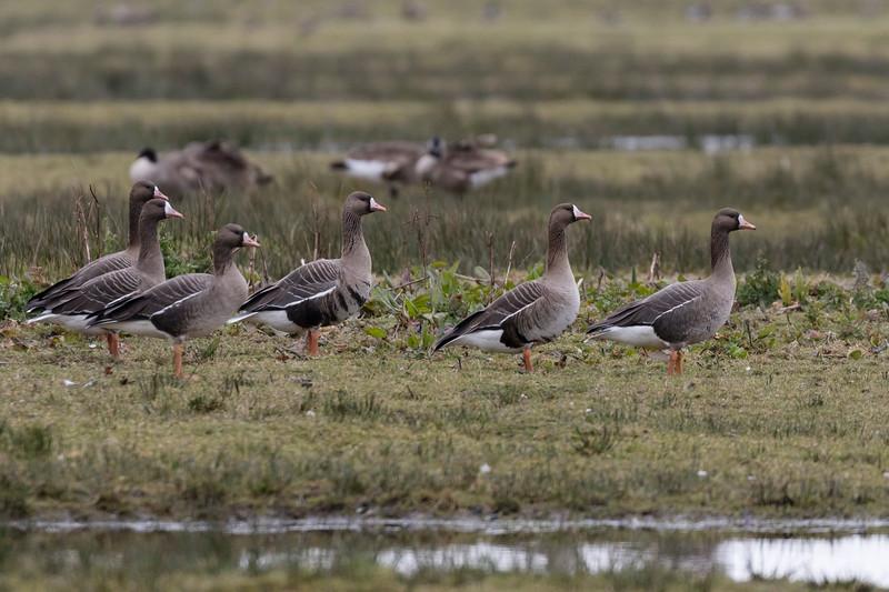 kolgans, white-fronted goose