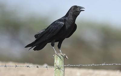 A 47 Oriols,Drongo,Crows,Raven-Rabenvögel