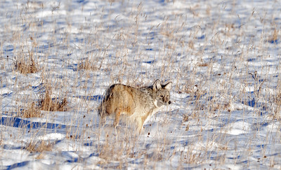 15-01-01 Coyote in Field