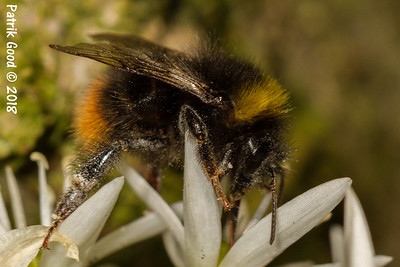 Deceiving Bumble Bee