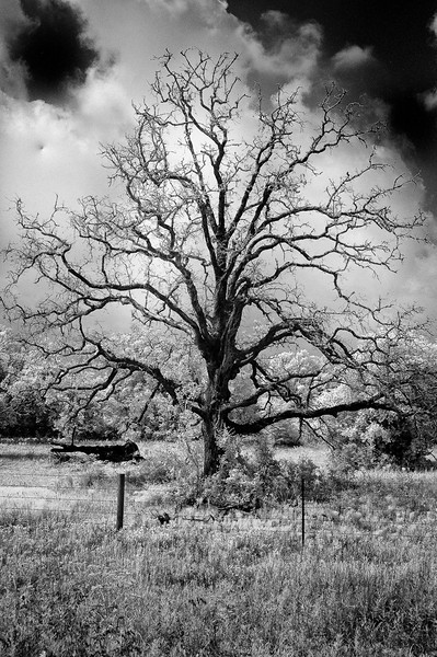 Texas Trees: Infrared