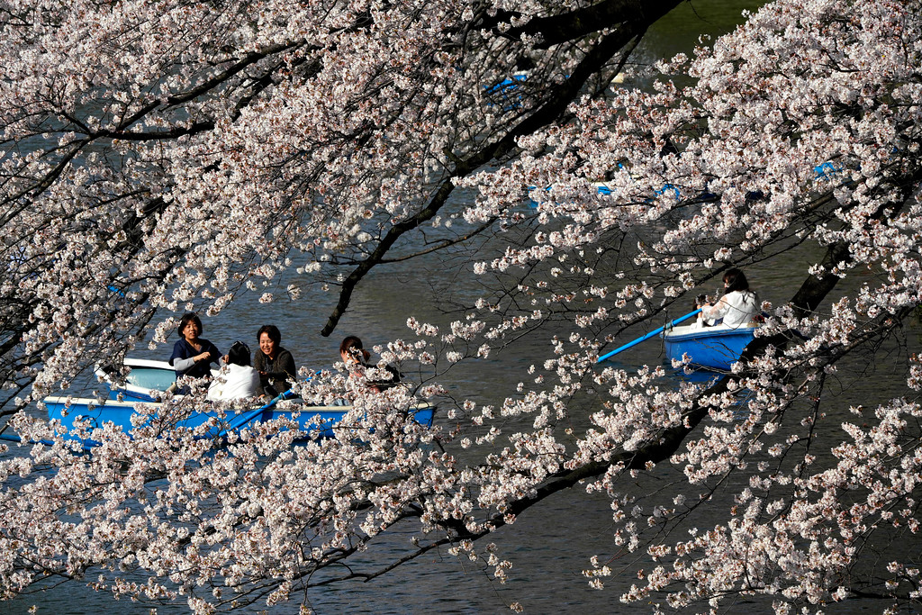 . Visitors on boat enjoy Someiyoshino cherry blossoms at Chitorigafuchi in Tokyo, Monday, March 26, 2018.  Japan\'s famous cherry blossoms have reached full bloom in Tokyo as spring-like weather descends on the nation\'s capital.(AP Photo/Shizuo Kambayashi)