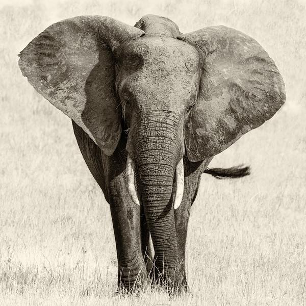 African Elephant - sepia.jpg