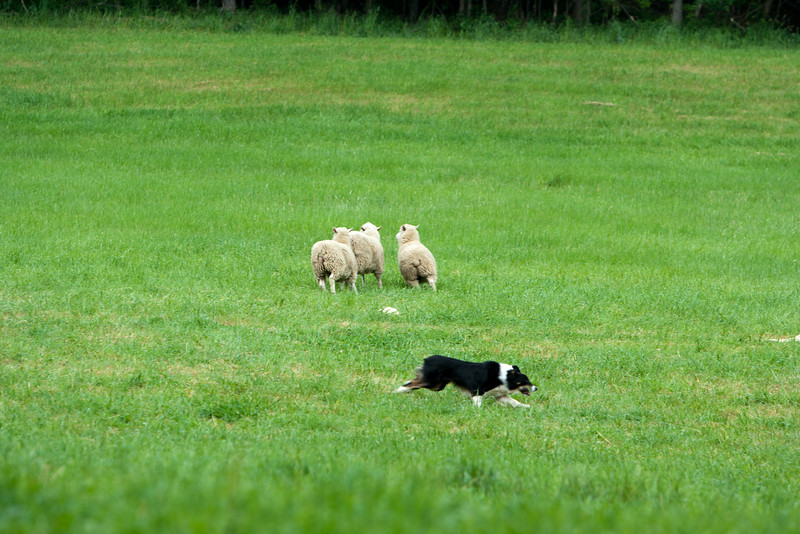 Border collie herding a trio of sheep.