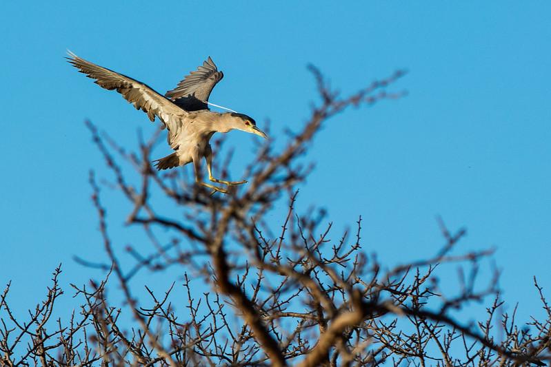 Heron landing