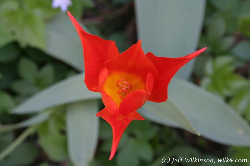 #3904 Tulip, pointed