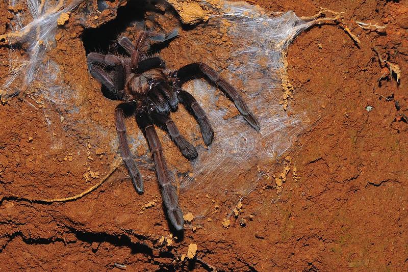 Tarantula-02.jpg