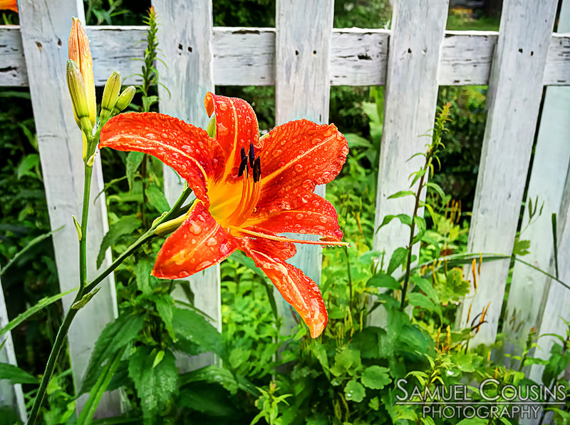 Raindrops on a tiger lily in front of a fence.