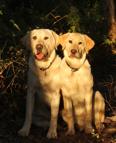 Labradors In The Forest.jpg
