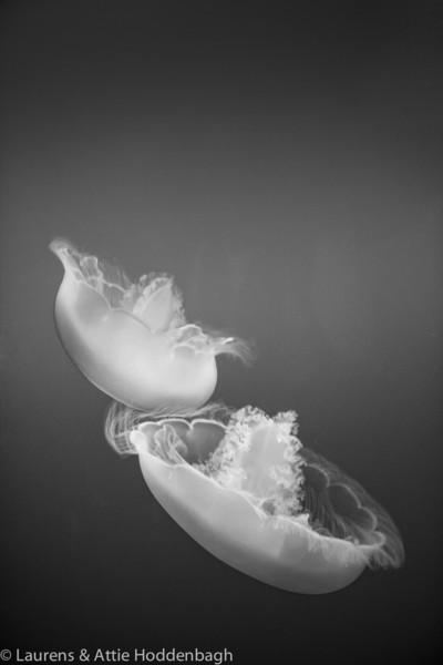 Moon Jelly, Aurelia aurita  Filename: CE4001583-Monterey-CA-USA.jpg