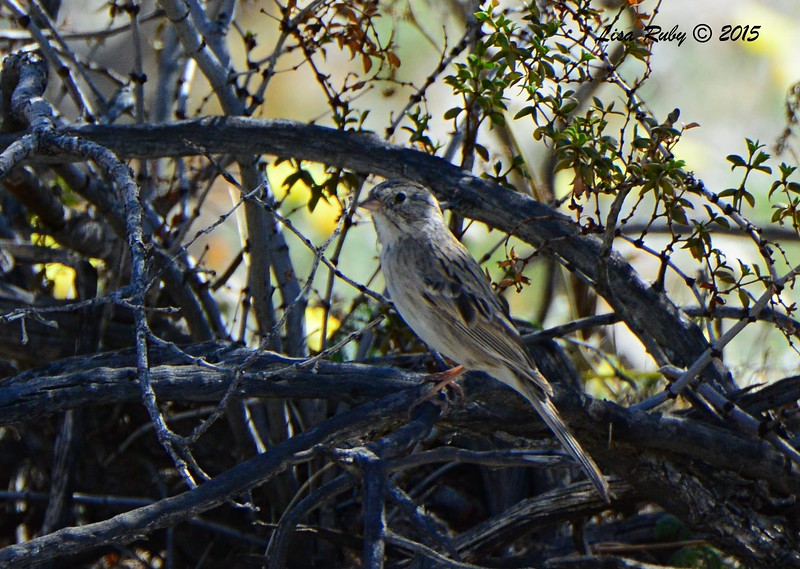 Brewer's Sparrow - 3/7/2015 - Borrego Springs Visitor Center