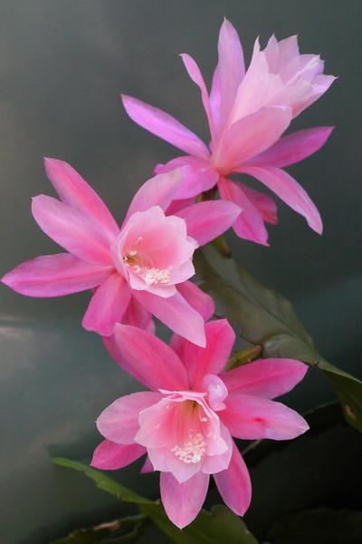 20121119_0802_4988 epiphyllum