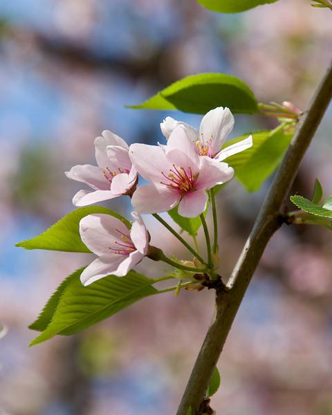 Washington DC Cherry Blossoms (2010)