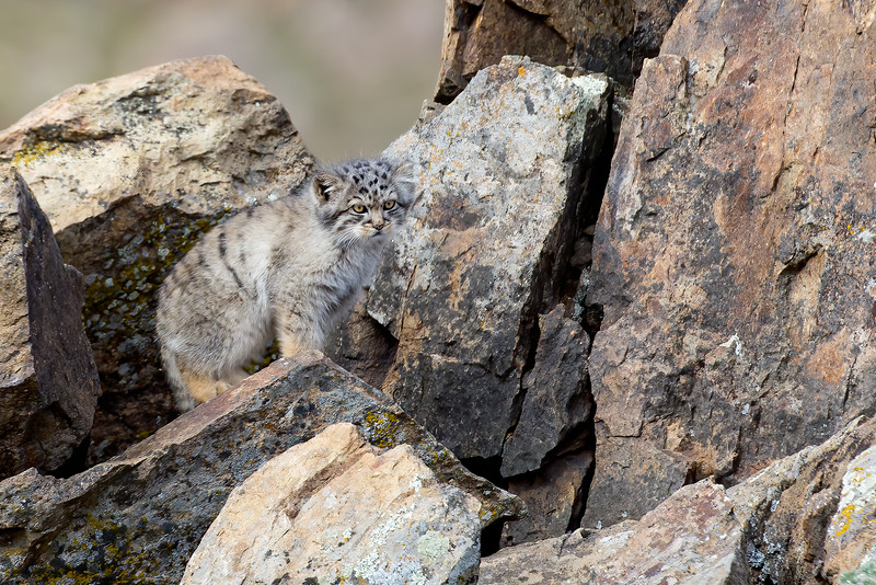 Pallas's cat kitten (Otocolobus manul) Mongolia. June.