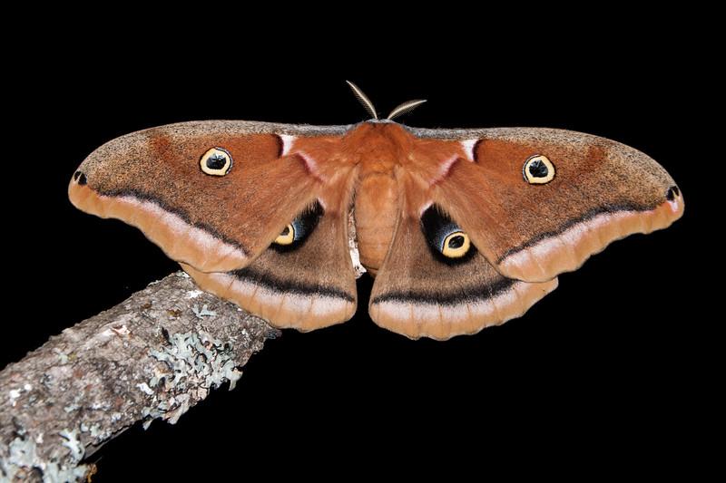 Polyphemus-Antheraea polyphemus)- Dunning Lake - Itasca County, MN