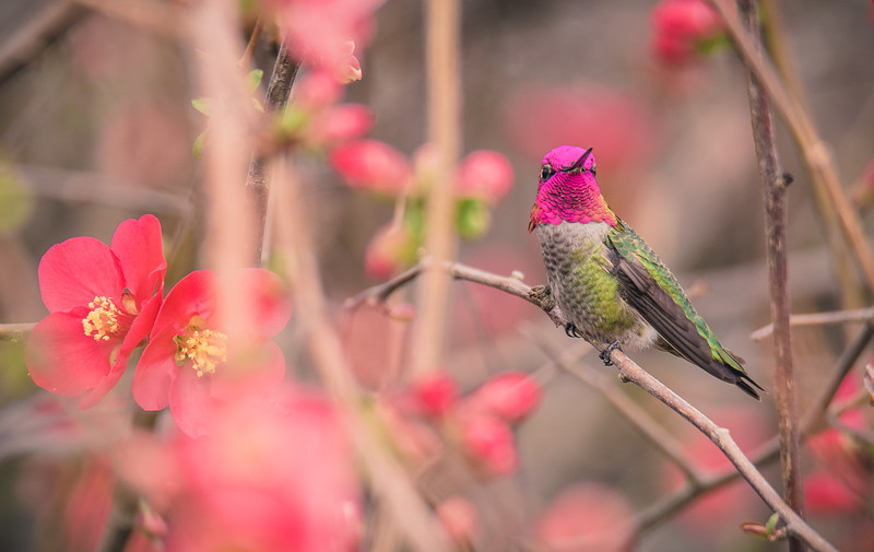 Hummingbirds in Pink Flowers-6436.jpg