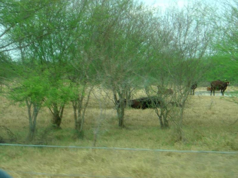 DSC03564-Cattle-King Ranch Tour-Thanksgiving-Kingsville TX- Nov 2008.jpg