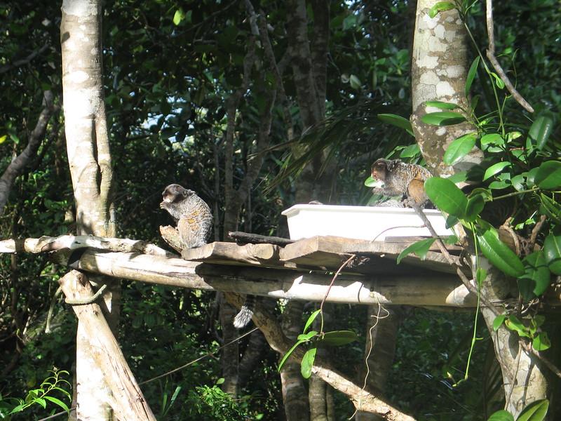 Monkey's of Marau (2).jpg