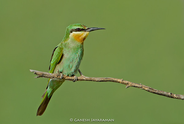 Blue-cheeked Bee-eater (Merops persicus)
