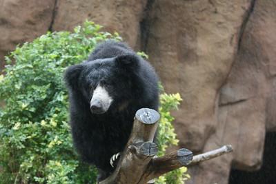 Bears  (5 species)