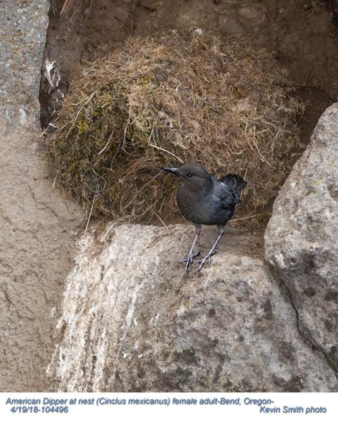 American Dipper at nest F104498.jpg