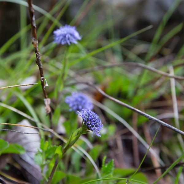 but de st genix,  globularia vulgaris