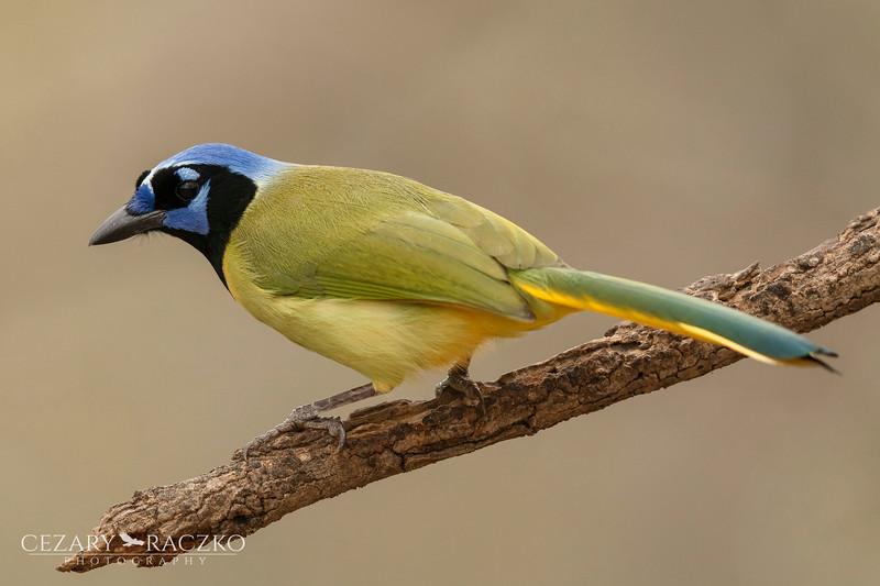 Green Jay (Cyanocorax luxuosus)