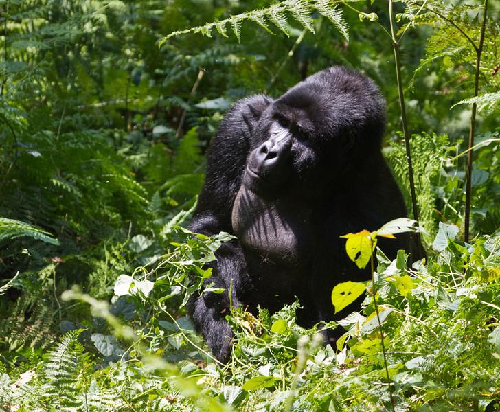Mountain Gorilla / Berggorilla (Bwindi Impenetrable NP)