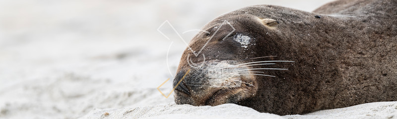 Close up of female New Zealand fur seal resting on the beach