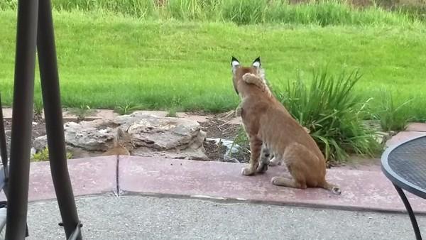 Bobcat Video