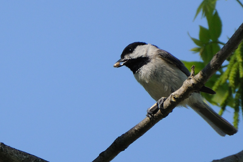 And watched as this Carolina chickadee opened and ate sunflower seeds in the tree.