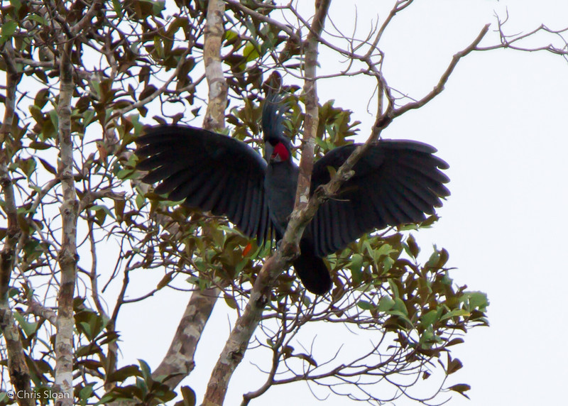 Palm Cockatoo at Boystown Road, Kiunga, Papua New Guinea (10-13-2013) 018-79.jpg