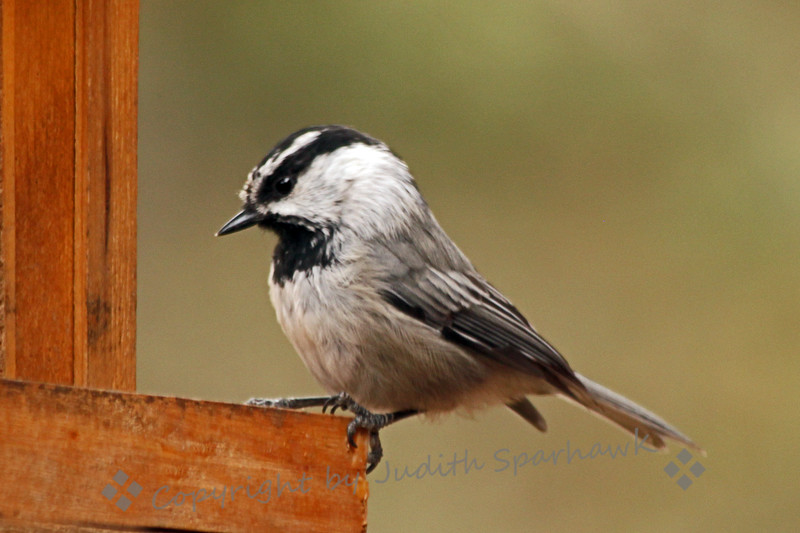 Mountain Chickadee ~ This chickadee was photographed at the feeder at Virginia Lakes Resort, on the east side of the Sierras.