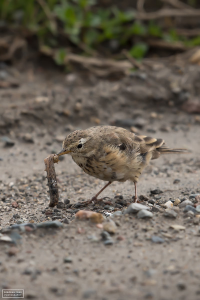 American Pipit twirling its worm